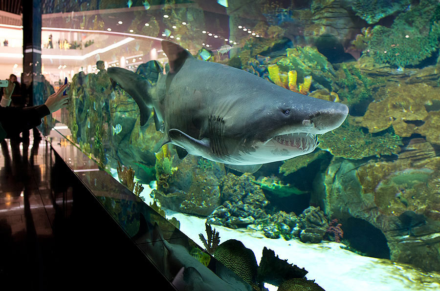 A great male sand tiger shark named  Big John makes a stunning impression on visitors of the Shopping Mall