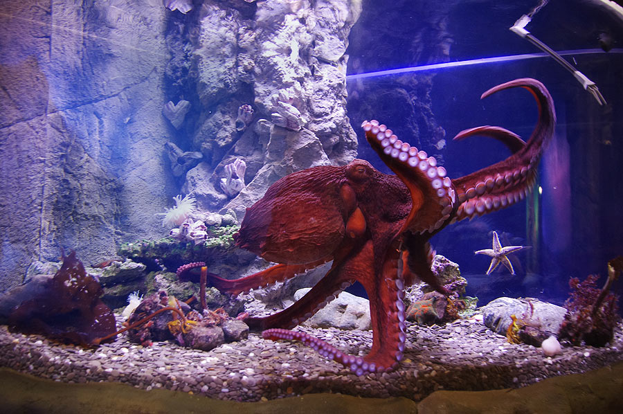 """The Giant Pacific octopus in the exposition """"Polar waters"""""""