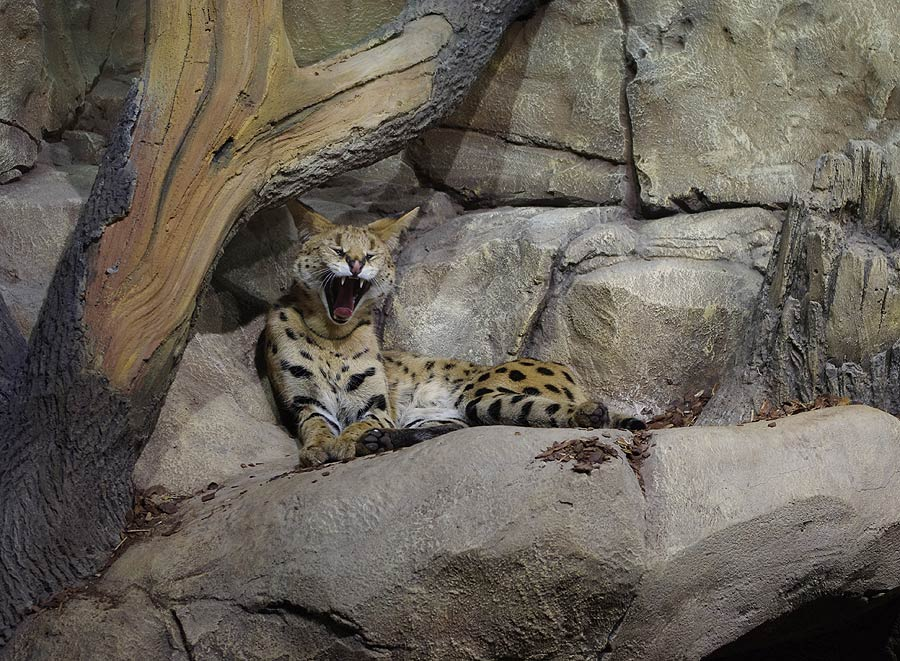 """The serval in the exposition """"Forests and steppes"""""""